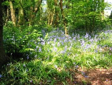 Green Wood Bluebell
